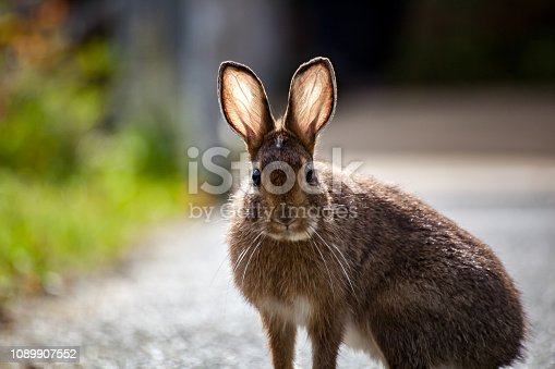 A wild rabbit with backlit ears showing veins staring forward in Olympic National Park, Washington State, USA