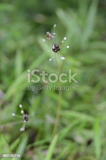 Wild racambole / Allium macrostemon