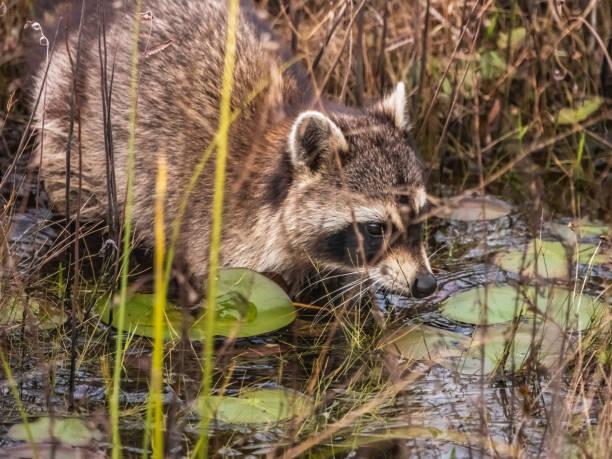 Wild raccoon in swampland