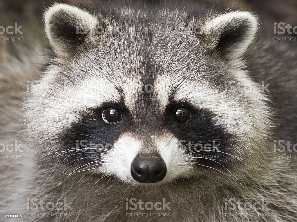 Wild Raccoon looking at camera, close-up stock photo