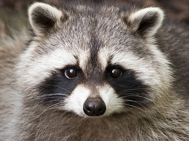 Wild Raccoon regardant la caméra, gros plan - Photo