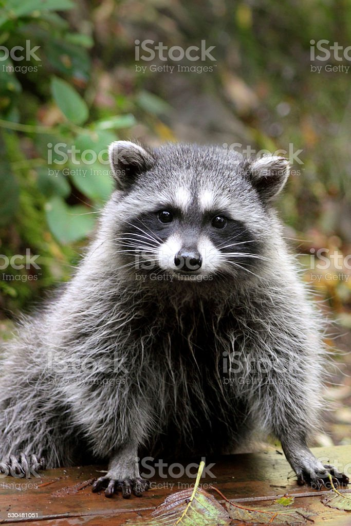 Wild Raccoon stock photo