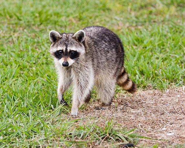 wild mapache pasos de green grass - gato civeta fotografías e imágenes de stock