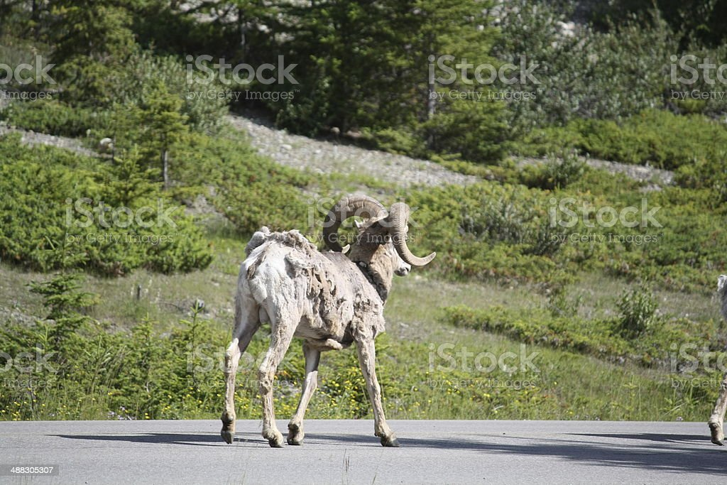 wild Ram royalty-free stock photo