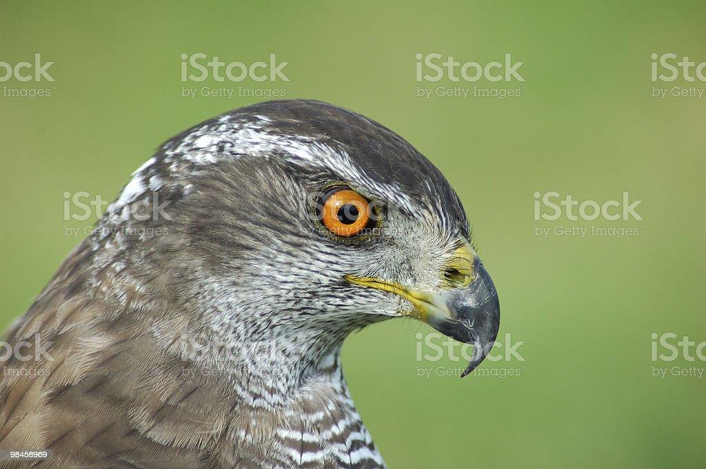 Wild raptor royalty-free stock photo