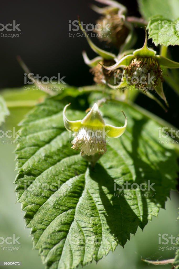 Wild raspberries (Rubus idaeus) royalty-free stock photo