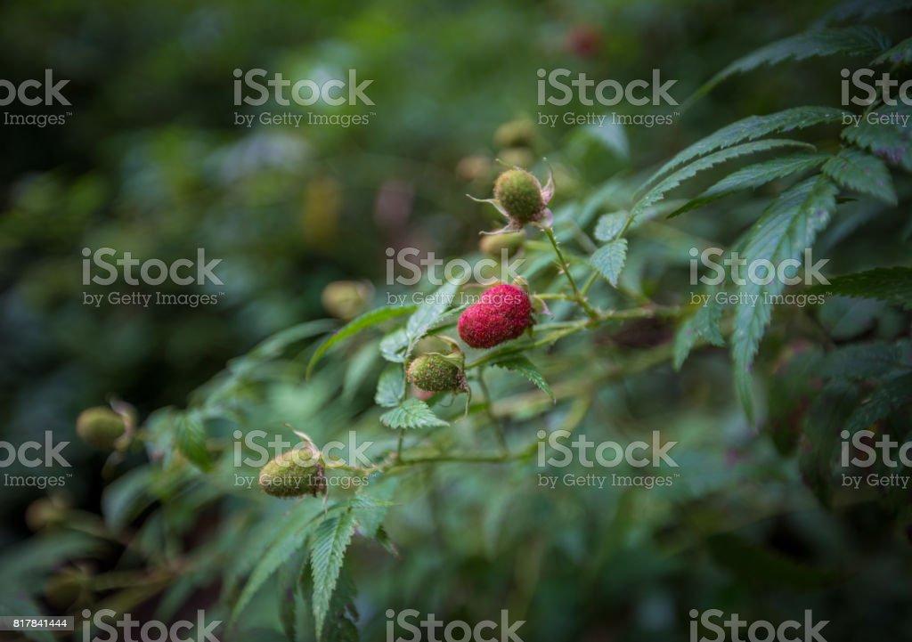 Wild Raspberries stock photo
