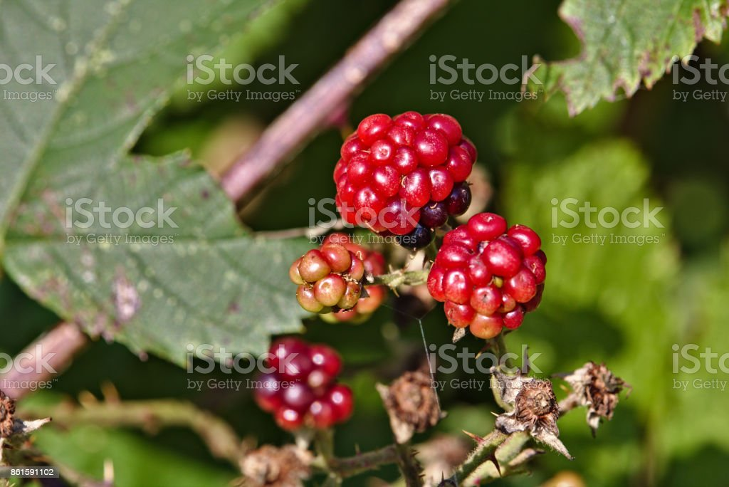 Wild raspberries with green leaves in the background stock photo