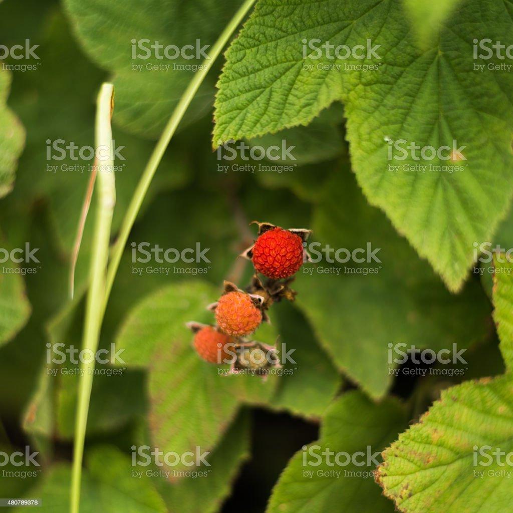 Wild Raspberry Bush stock photo