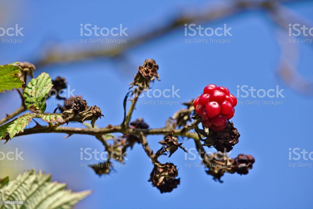 Wild raspberry on a branch with clear blue sky in the background stock photo