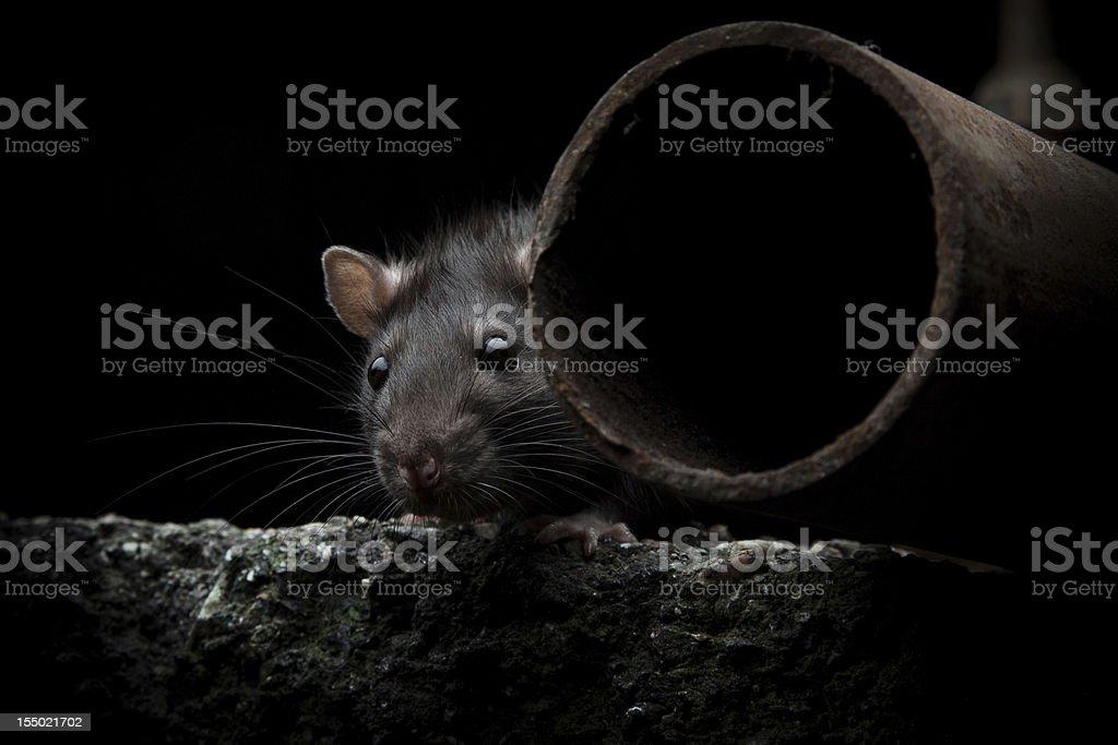 wild rat stock photo