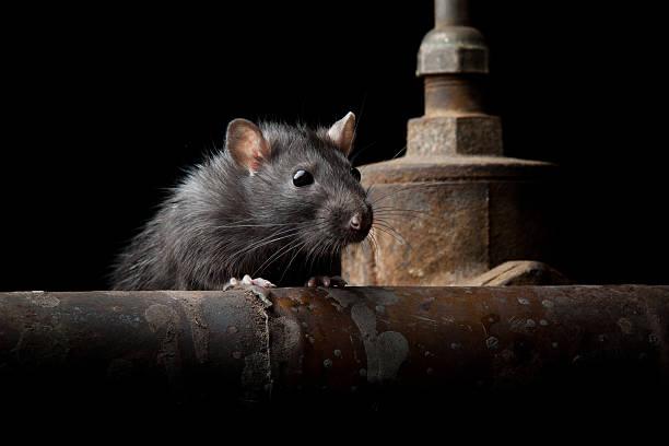 wild rat - Photo