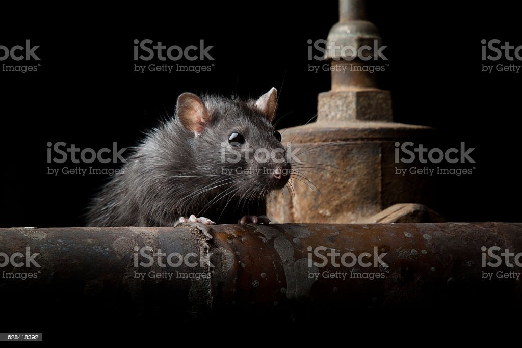 wild rat stock photo