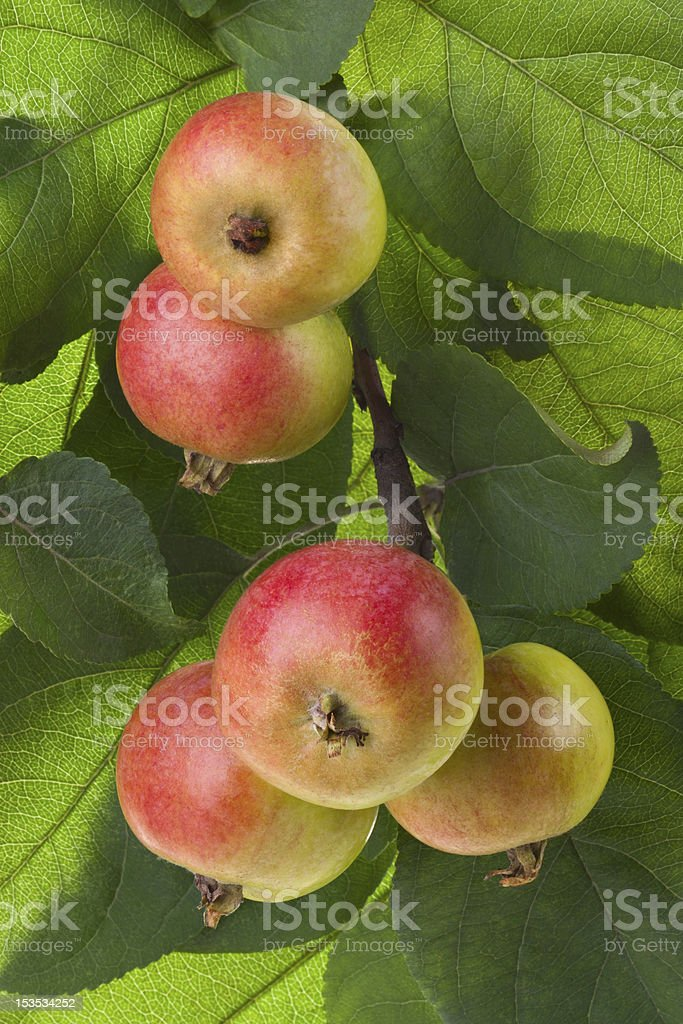 Wild red apples on a branch royalty-free stock photo
