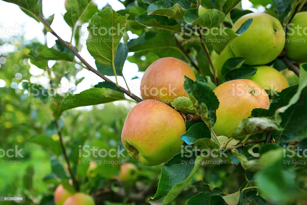 Wild red apples on a branch with green leaves. Closeup. stock photo