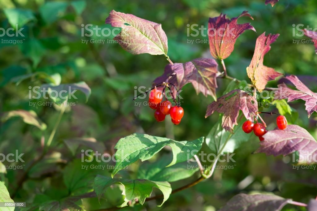Wild Red Berries On The Tree Stock Photo Download Image Now Istock