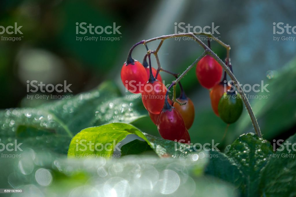 Wild red berries stock photo