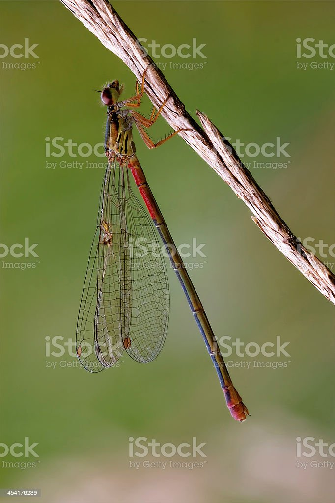 wild  red black dragonfly coenagrion stock photo