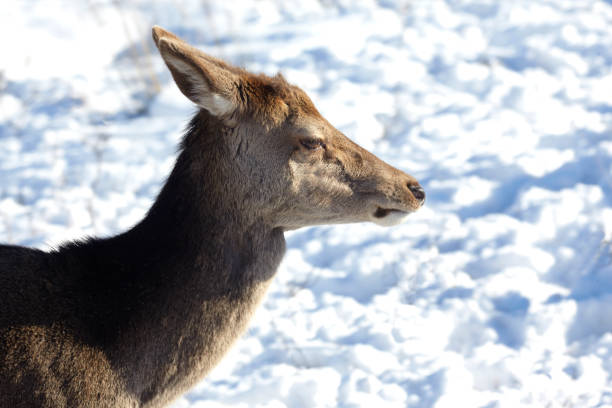 Wild Red Deer, Glencoe, Scottish Highlands, Scotland, UK stock photo