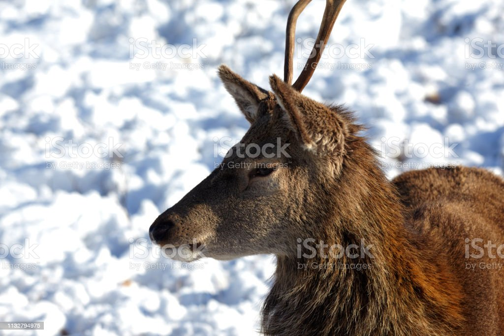 Wild Red Deer, Glencoe, Scottish Highlands, Scotland, UK stock photo