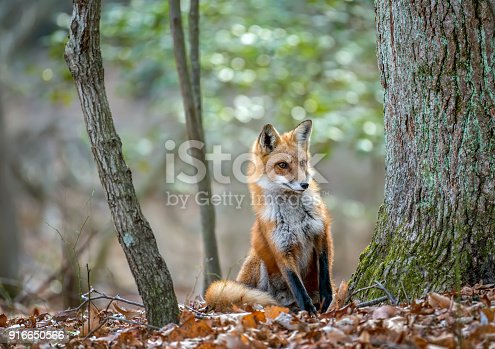 Wild Red Fox peeking around a tree in a Maryland forest during Autumn