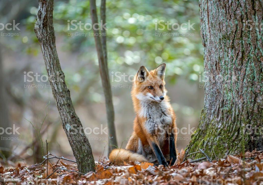 Raposa-vermelha inspecionar ao redor de uma árvore em uma floresta selvagem - foto de acervo