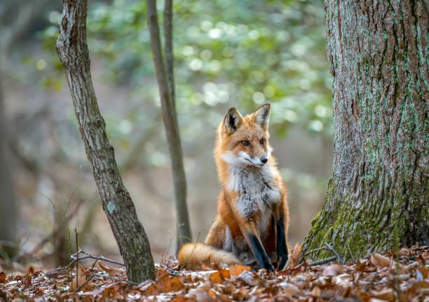 wild red fox peeking around a tree in a forest - fox stock photos and pictures