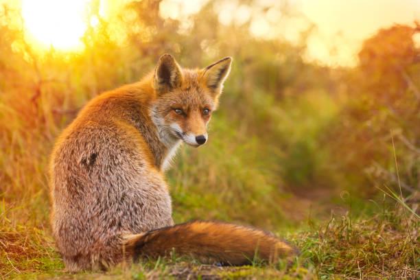 wild red fox vulpes vulpes avond zonsondergang - aas eten stockfoto's en -beelden
