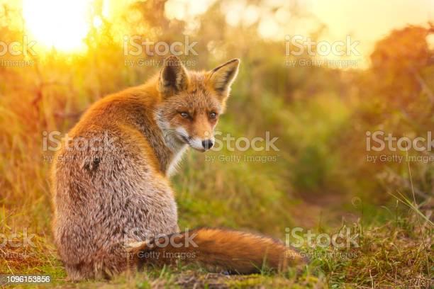 Photo of Wild red fox Vulpes Vulpes evening sunset