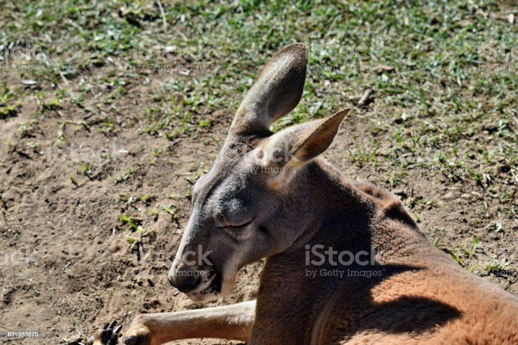 Wild red kangaroo lying on the grass stock photo