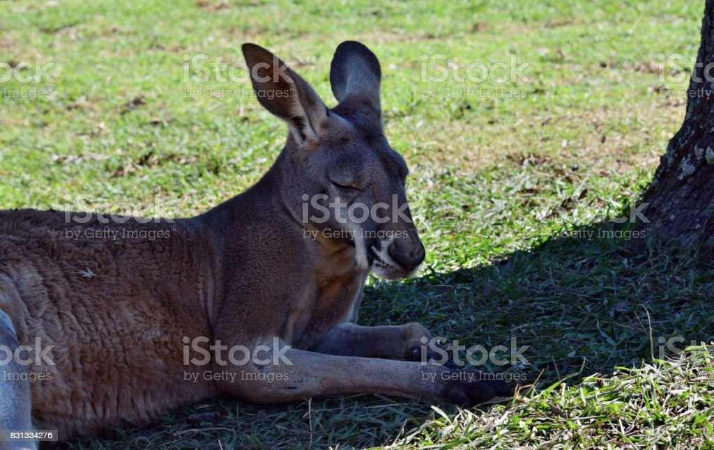 Wild red kangaroo resting on the grass in the park stock photo