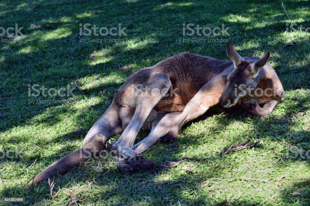 Wild red kangaroo sleeping and resting stock photo