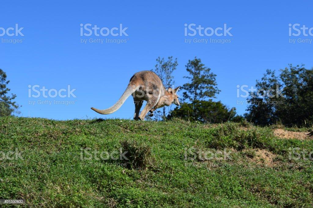 Wild red kangaroo standing on the grass stock photo