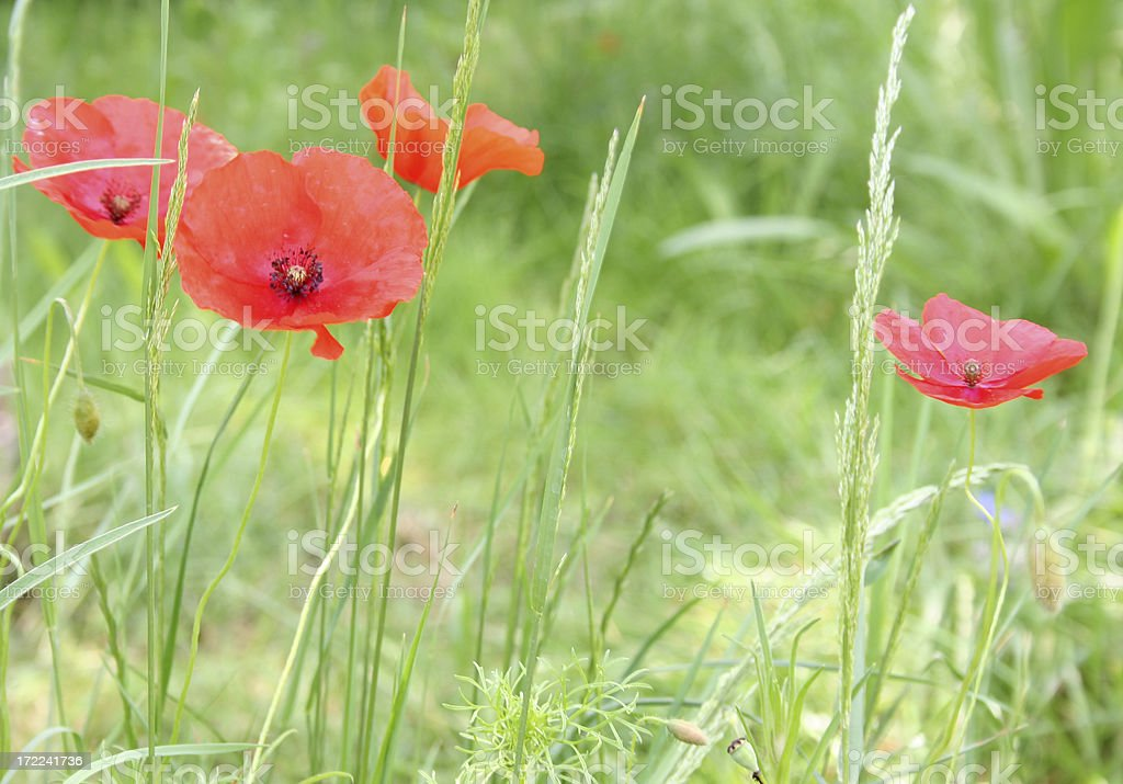 wild red poppies royalty-free stock photo