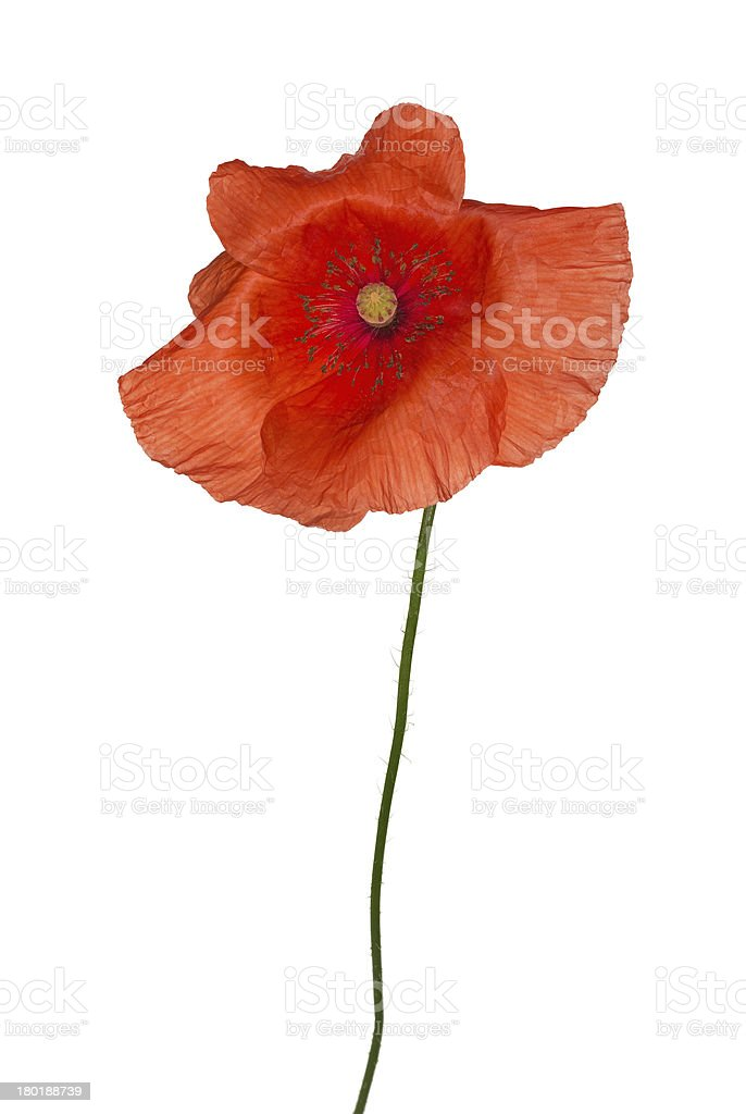 wild red poppy isolated flower royalty-free stock photo