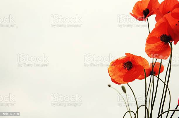 Wild red poppy picture id585166718?b=1&k=6&m=585166718&s=612x612&h=t3kph6z8zukymjpvxxzkkfz4peendx9nqwx2qqpi8je=