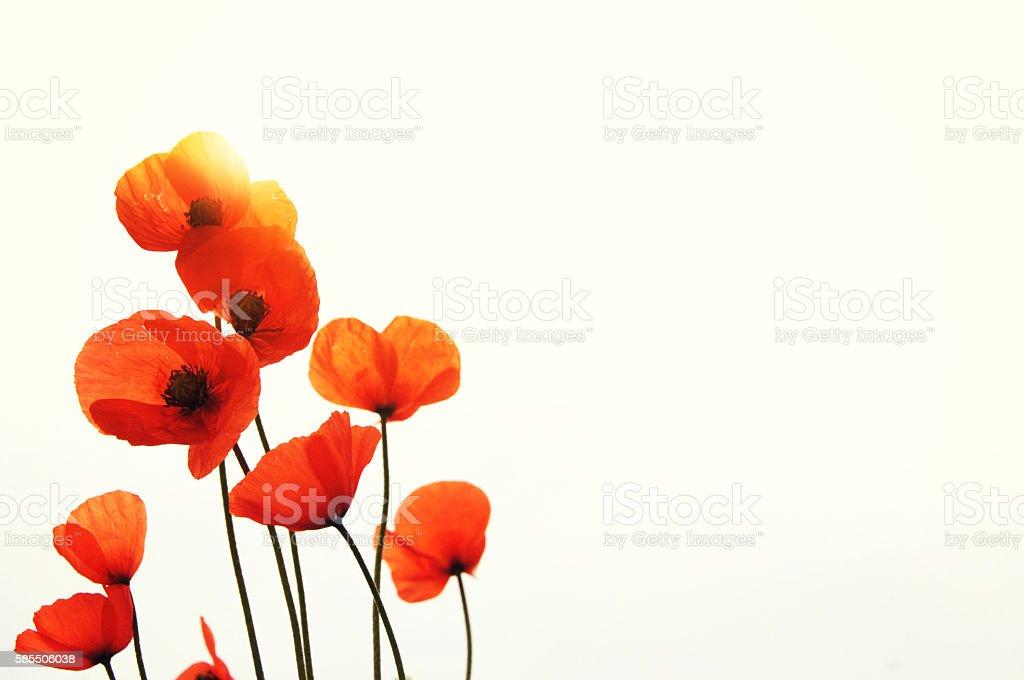 Wild red poppy stock photo