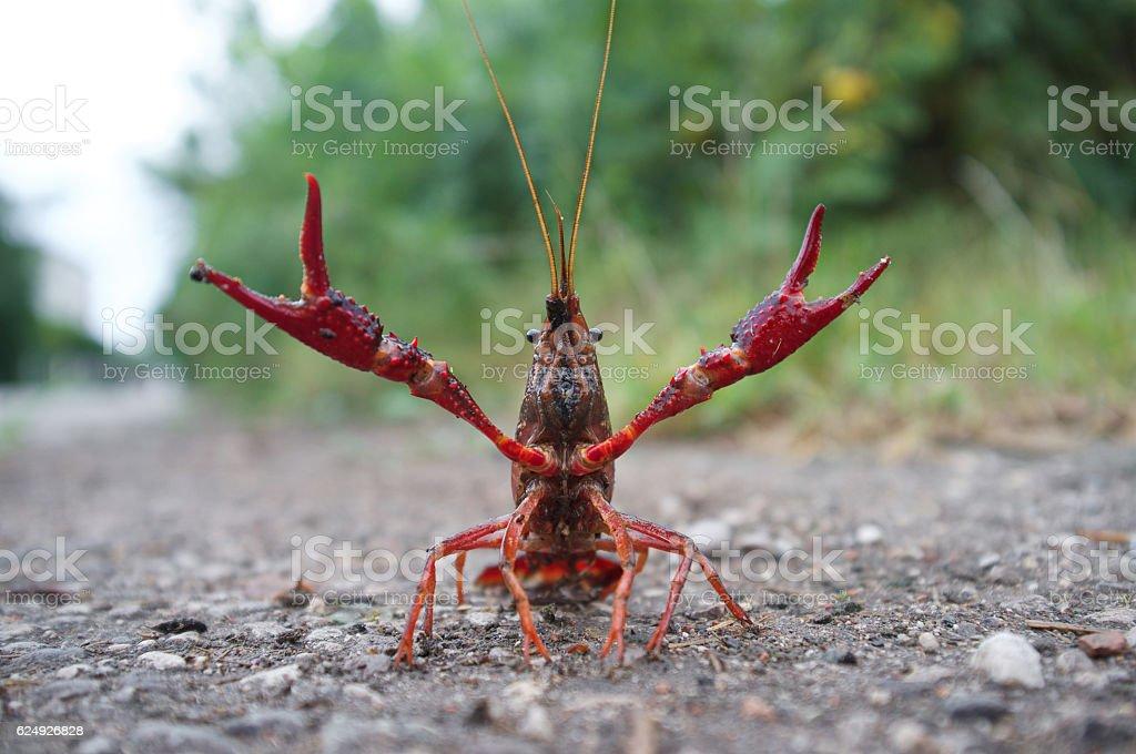 wild red swamp crawfish attacks! stock photo
