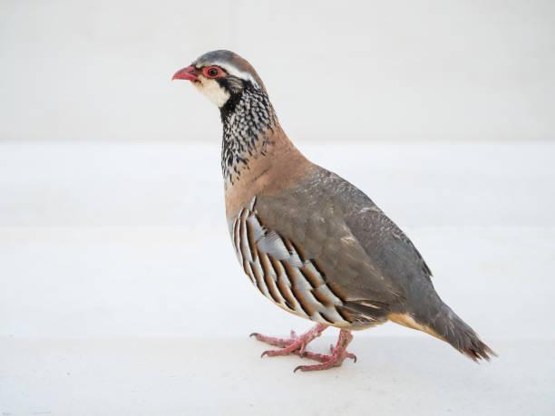 pájaro perdiz roja salvaje - perdiz roja fotografías e imágenes de stock