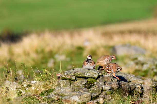 salvaje-perdiz roja en hábitat natural de juncos y pastos en los páramos de yorkshire, reino unido - perdiz roja fotografías e imágenes de stock