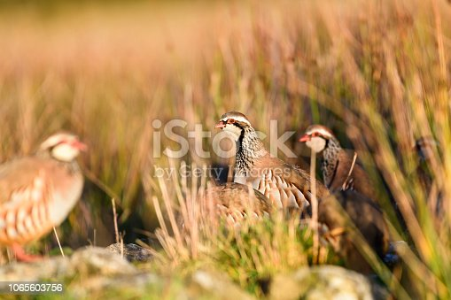 Wild red-legged partridge in its natural habitat of grassland and hay meadows in Yorkshire, UK.
