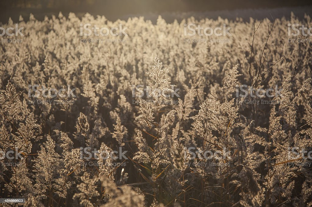 wild reed sweetgrass glyceria maxima backlit by evening sun stock photo