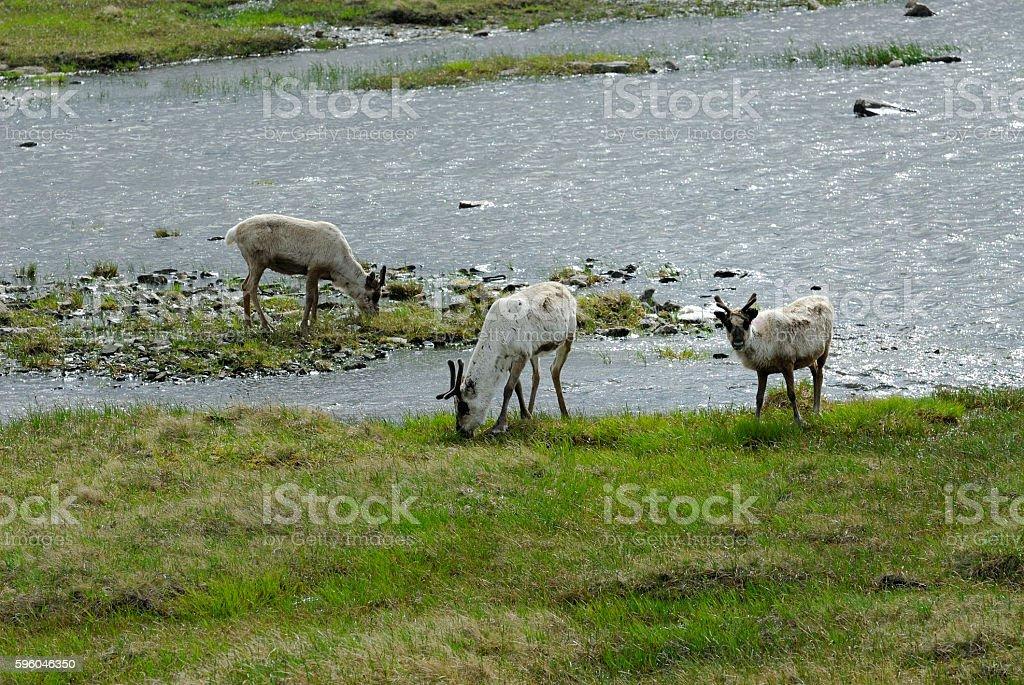 Wild Reindeer of Norway royalty-free stock photo