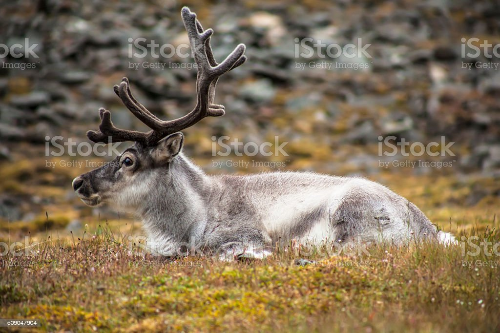 wild reindeer on svalbard meadow stock photo