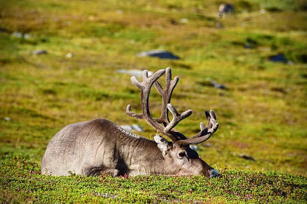 Wild Reindeer Resting in Summertime Arctic Norway stock photo