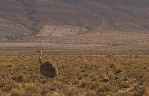 Wild Rhea and Chicks in the Atacama Desert in Bolivia South America stock photo