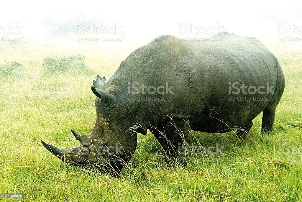Wild rhino in South Africa stock photo
