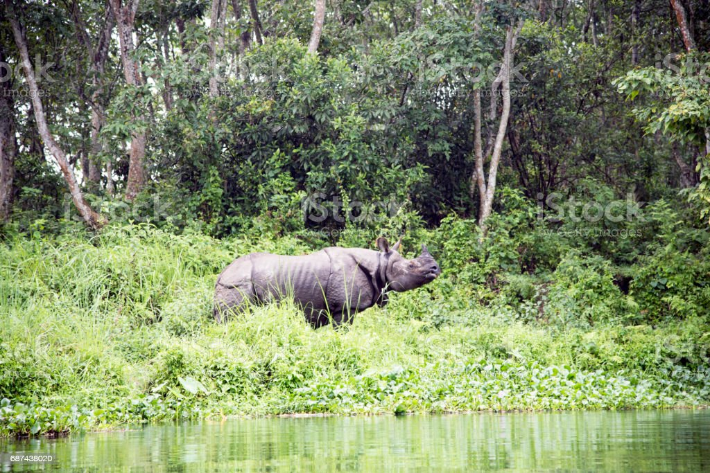 Wild Rhino Seen From The River Stock Photo - Download Image