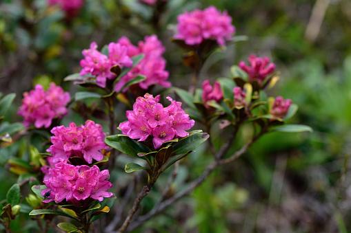 Fiori di Rododendro selvatico \