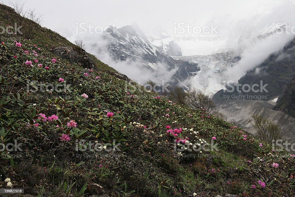 wild rhododendrons blooming in mountains of Bhutan stock photo